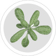 Learn about arabidopsis